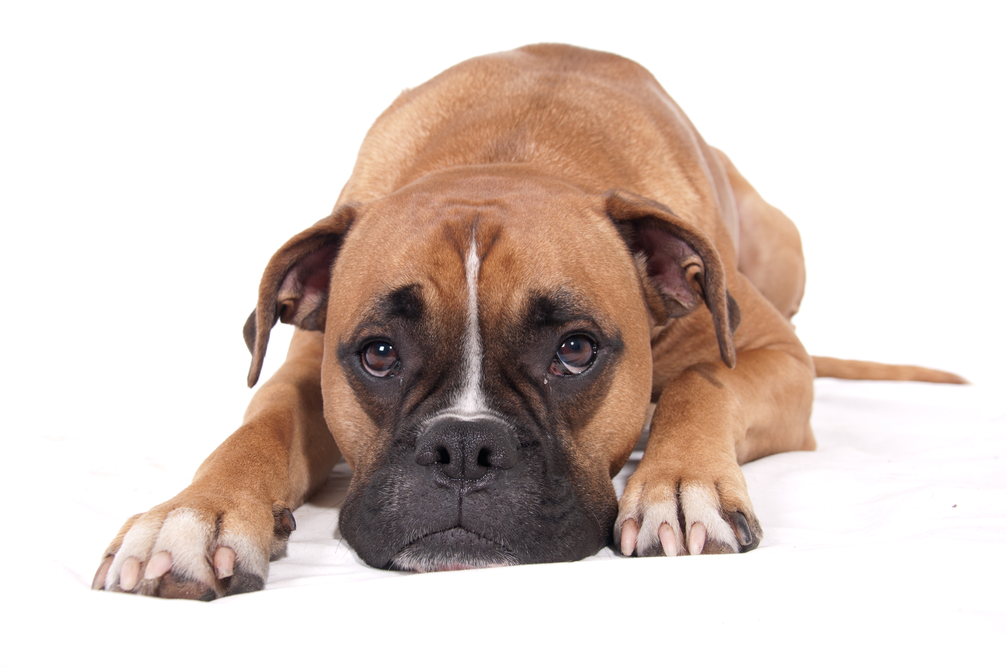 stockvault boxer dog lying down131801